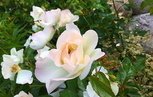 Roses de la Chaumière Fleur Soleil