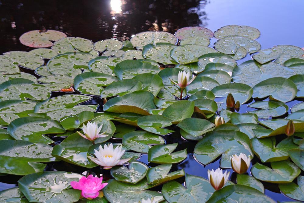 L'étang de la Chaumière Fleur Soleil